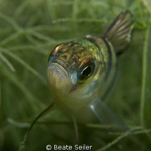 Perch close up by Beate Seiler 